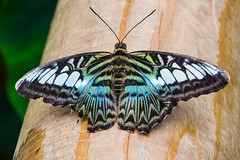 IMG_1415 (G_HOWDEN) Tags: butterfly macro insect