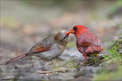 Northern Cardinal Pair Bonding (Daniel Cadieux) Tags: cardinal northerncardinal pair duo couple love romance share sharing bond bonding ottawa maleandfemale kiss kissing