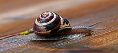 Snail On The Move (TomIrwinDigital) Tags: landsnail snail snails ontario burlington gastropod molluscs macro