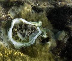 Blenny_Fuel Dock_Bonaire_June 2017 (R13X) Tags: bonaire underwaterphotography underwatermacrophotography scubadiving diving denlaman dutchcaribbean dutchislands shorediving nikon nikon105mm nikon60mm d7200 blenny barireef somethingspecial saltpier torisreef