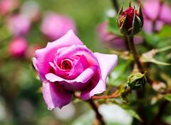 Maig_0003 (Joanbrebo) Tags: barcelona catalunya españa es park parque parc parccervantes garden jardí jardín flors flores flowers fleur fiori blumen blossom 17èconcursinternacionalderosesnovesdebarcelona canoneos80d eosd efs18135mmf3556is autofocus rosa rose contactgroups simplysuperb thebestofmimamorsgroups