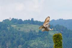 Final Approach (grundi1) Tags: sony alpha 68 ilca68 a68 kärnten carinthia landskron tamronsp70300mmf456divcusd birds prey greifvögel uhu bubo eagle owl