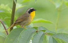 Common Yellowthroat (Eric_Z) Tags: commonyellowthroat warbler yellow colonyfarmregionalpark coquitlam britishcolumbia canada explored