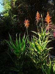 Kenyan aloe flowering