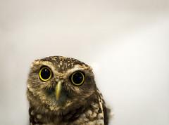 Big eyes. (Pablin79) Tags: portrait birds bird eyes animals summer animal looking wildlife one closeup indoor wild predator argentina avian misiones posadas athenecunicularia