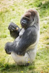 2017-06-05-10h48m56.BL7R7051 (A.J. Haverkamp) Tags: bokito canonef100400mmf4556lisiiusmlens rotterdam zuidholland netherlands zoo dierentuin blijdorp diergaardeblijdorp httpwwwdiergaardeblijdorpnl gorilla westelijkelaaglandgorilla dob14031996 pobberlingermany nl