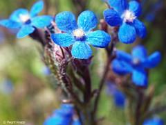 BUGA Britz Vielfalt der Natur (magritknapp) Tags: buga blaue blume bokeh blue flower fleur bleue azul flor fiore blu