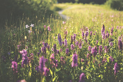 (CarolienCadoni..) Tags: sonyslta99 50mmf14 sal50f14 orchid purple nature bokeh landscape nederland netherlands nieuwbuinen drenthe