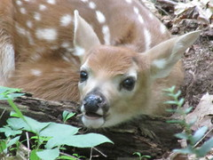 Baby Face (christa.bryant10) Tags: fawn baby babydeer deer cute forest leaves branches leaf nature