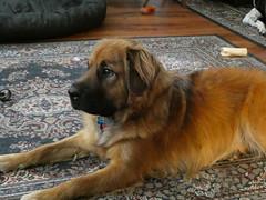 Dog (krossbow) Tags: dcluckydog barca canine dog k9 lumix mix mutt panasonic rescuedog tz90 zs70