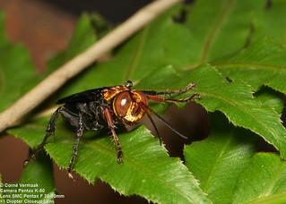 2017-06-06 Spider Hunting Wasp (Hemipepsis sp) 5419