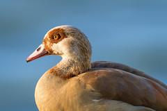 Alopochen aegyptiaca (oliver.nispel) Tags: 069 bird frankfurtammain goose outdoor wildlife animal city ffm frankfurt germany hesse mainhattan nature place urban urbex