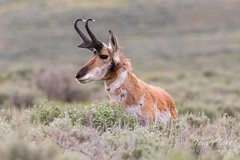 Pronghorn Buck in the Lamar Valley