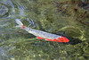 Orange and white koi. (Alexandra Rudge.Thanks x 7 millon viewersl!) Tags: alexandrarudge alexandrarudgephotography alexandrarudgeimages alexandrarudgehuntingtonlibraryimages huntingtonlibrarysanmarinocalifornia huntingtonlibrary thehuntingtonlibraryandbotanicalgardens thehuntingtonlibrary nature naturaleza fish koi koifish pez fauna canon californiafauna californiawildlife southerncaliforniawildlife southerncaliforniafauna lawildlife lafauna actinopterygii cypriniformes cyprinidae cyprinus ccarpio cyprinuscarpio cchaematopterus animales animalia animals chordata flickrhivemindgroup
