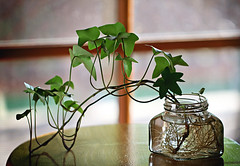 Growing roots (Through Serena's Lens) Tags: reflection stilllife ivy plant roots window bokeh indoor dof bottle glass 52stilllifes light