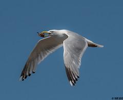 """Gull (""""DEB"""") Tags: seagull d500 nikon200500mm bird inflight sea ocea beach shell herringgull"""