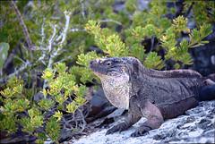 Bitter Cay Iguana (jbylund) Tags: iguana bahamas bitter cay d600 nikon