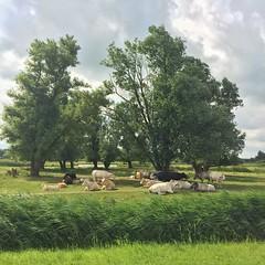 That lazy summer feeling ... (Harry -[ The Travel ]- Marmot) Tags: holland nederland netherlands dutch hollands nl twiske landsmeer amsterdamnoord landelijk rural cows koeien lazy summer luie zomer groen green landschap landscape nature natuur recreatiegebied allrightsreservedcontactmebyflickrmail cattle vee runderen grazers farmanimals boerderijdieren dieren animals