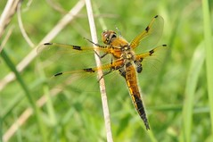 Vierfleck (Libellula quadrimaculata); Bergenhusen, Stapelholm (13) (Chironius) Tags: stapelholm bergenhusen schleswigholstein deutschland germany allemagne alemania germania германия niemcy tier libelle dragonfly