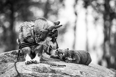 Please give me some attention (CecilieSonstebyPhotography) Tags: arctic bokeh fox endangered alopexlagopus baby bw adorable 135mmf18dghsmart017 cute sweet animal norway mother markiii whitefox arja puppy langedrag 8weeksold canon5dmarkiii dog blackandwhite cub snowfox polarfox canon