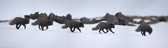Arctic fox. (richard.mcmanus.) Tags: iceland fox arctic arcticfox winter snow animal wildlife mcmanus westfjords hornstrandir