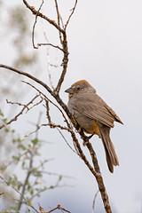 canyon towhee sonoran desert arizona (lee barlow) Tags: d7200 arizona birdsofarizona birdsofnorthamerica canyontowhee leebarlow melozonefusca nikon sonorandesert