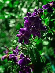 Green & Purple (LarryJay99 ) Tags: colors green purple foliage flowers blooms outside nature urban urbannature
