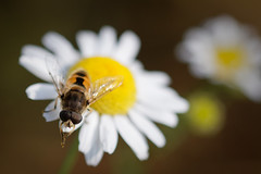 Miam Miam (Bruno MATHIOT) Tags: insect animal planet fleur flower nature outdoor canon 760d sigma 105 macro proxy france french alsace