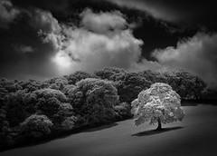 White Oak 3 (Mick Blakey) Tags: woodland shadows monochrome curves serene clouds white black moody infrared tree oak blackwhite