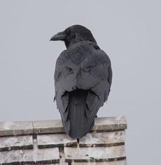 Common Raven (Corvus corax) (ekroc101) Tags: birds commonraven corvuscorax manitoba hecla heclaprovincialpark