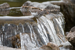 At the point of no return (NicoleW0000) Tags: spotted sandpiper shorebird water cascade waterfalls bird photography outdoors nature waterfall