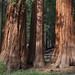 Giant  Sequoia, Mariposa Grove, Yosemite National Park