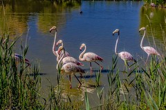 Camargue Flamingos Walk... (capvera) Tags: camargue flamingos birds flamants roses oiseaux pink ballet reserve pool lake marsh salted