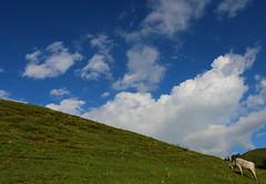 "Mountain's Cow ""Living the natural life"". (Jaiser Abbas) Tags: jaiser jaiserphotography jaiserabbas naran kaghan shogran siripaye norther areas pakistan tourism instapakistan traveldiaries tourpakistan"