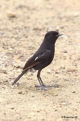 Pied Bushchat (Sivakumar Nilangiriyar) Tags: bushchat pentax k5iis fa30045
