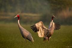 Sarus cranes (mathewindelhi) Tags: sarus crane bird birds wild wildlife india indiapictures indianbirds delhi nature wings