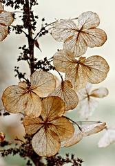 Drop Dead Gorgeous (Karen Tregoning Photography) Tags: canon hydrangea dead dry flower garden beautiful dropdeadgorgeous deadflower eos550d anzachouse deadstuff lovely deadoralive brown dried macro closeup upclose pastitsprime