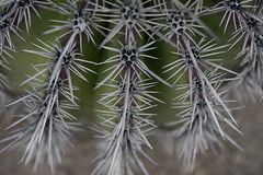 thorny situation (remiklitsch) Tags: cactus succulents thirns bristles green silver nature california santamonic abstract pattern art nikon remiklitsch