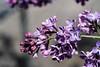 S17X9073 (Daegeon Shin) Tags: fujifilm xpro2 nikkor 55mmf28 lilac 라일락 lila dof flower flor mf manualfocus macro mirrorless 후지 니콘렌즈 수수꽃다리 심도 꽃 수동 수동렌즈 접사 마크로
