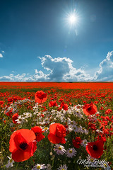 Summer time .... (Mike Ridley.) Tags: poppies nisilandscapepolariser poppy poppyfield summer nature sky landscape sonya7r2 sony2470fegm mikeridley nisi lee filters