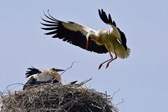 DSC_4556 (franckp64) Tags: cicognabianca whitestork stork fly volo ciconiaciconia nido nidiata oasideiquadris fagagna oasi bird atterraggio