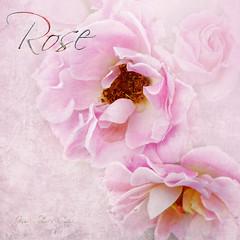 Rose (Jean Turner Cain) Tags: flower flora flowers floral fleur bloem blomst texture textured textures jeanturnercain