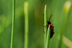hold on (gmeinerverena) Tags: summer green macro beetle nature beaut beautiful garden grass hold red