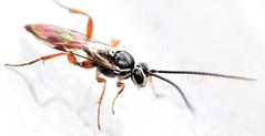 6.8 mm female ichneumon (ophis) Tags: hymenoptera parasitica ichneumonoidea ichneumonidae ichneumoninae heresiarchini protichneumonina coelichneumon ichneumon