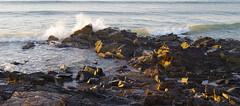 5:25 AM - York Harbor, Maine       1-IMGP0688 (LarryJ47) Tags: pentaxk5ii morning sunrise sidelight sidelit water ocean sea wave splash reflection glow stones waves