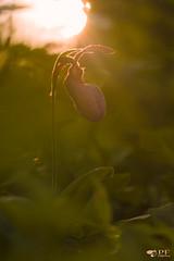 ''Sabot de la vierge aux doux rayons! (pascaleforest) Tags: macro nikon nature matin morrning fleur flower forest forêt passion sigma printemps spring québec canana mauricie