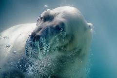 bubblelicious (ucumari photography) Tags: ucumariphotography nikita polarbear ursusmaritimus oso bear animal mammal nc north carolina zoo osopolar ourspolaire oursblanc eisbär ísbjörn orsopolare полярныймедведь dsc1785 august 2016 specanimal specanimalphotooftheday 北極熊