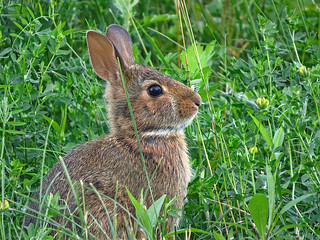 Jeune lapin à queue blanche / Eastern Cottontail