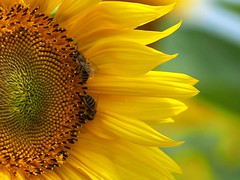 Half sunflower and two bees (Nikos Karatolos) Tags: nature flowers sunflowers samyang 50mm f12 yellow insects bees