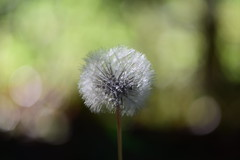 Dandelion (sauremmanuel) Tags: boule blanche white couleur plume pissenlit dandelion nature macro